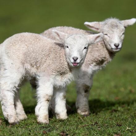 Lambing