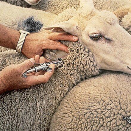 Sheep Medicines