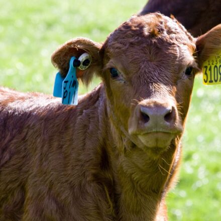 Cattle Eartag Online Ordering