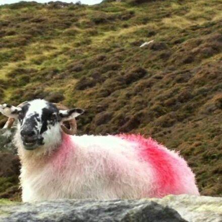 Sheep Marking