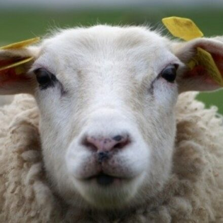 Sheep Eartag Online Ordering