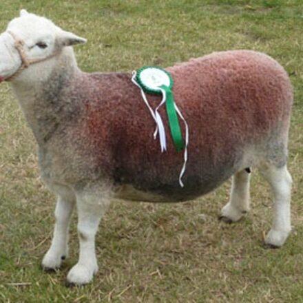 Sheep Showing & Handling